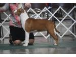 AMSTAFF Polly (Ataxia Clear)