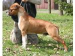 AMSTAFF Simba (Ataxia Clear By Parental)