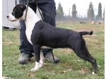 AMSTAFF Megan (Ataxia Carrier)