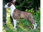 AMSTAFF Crazy (Ataxia Carrier)