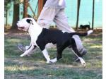 AMSTAFF Ethan (Ataxia Clear by Parental)