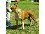 AMSTAFF Charlie (Ataxia Clear)