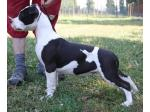 AMSTAFF Snow (Ataxia Clear By Parental)