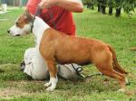 AMSTAFF Lola (Ataxia Clear) HD-B ED-0 Cardio Normal
