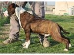 AMSTAFF Gleen (Ataxia Clear By Parental)