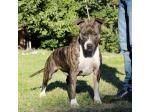 AMSTAFF Raja (Ataxia Clear by Parental)