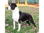 AMSTAFF Queen (Ataxia Clear)