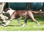 AMSTAFF Daisy (Ataxia Clear By Parental)