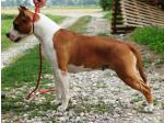 AMSTAFF Bella (Ataxia Clear By Parental)